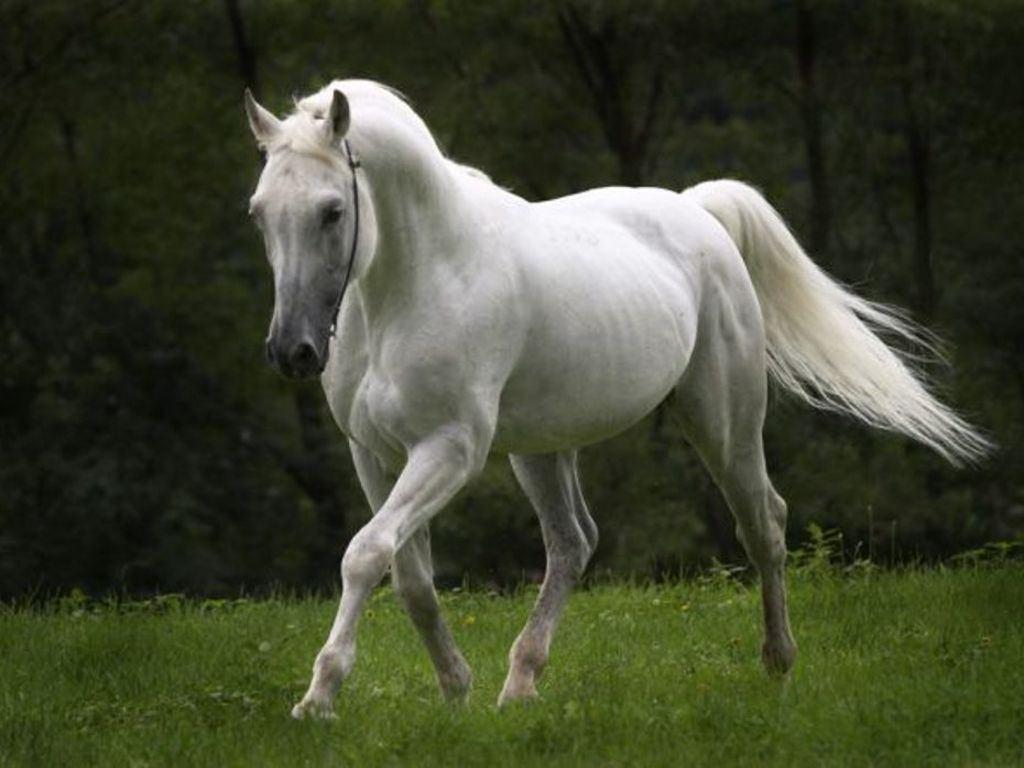 Top   Wallpaper Horse Fantasy - Wallpaper+of+White+Horse  Trends_696879.jpg