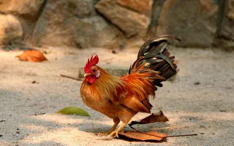 Jenis Ayam Yang Bertubuh Kecil