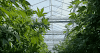 Cannabis (Maconha): Usos na Área Médica e Industrial