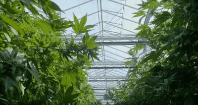 Cannabis maconha usos area médica e industrial