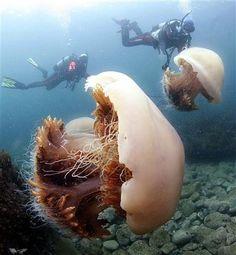 nomuras jellyfish