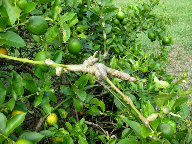 how to get rid of aphids on citrus trees