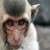 Demi Temukan Vaksin, Monyet-monyet Ini Diinfeksi Virus Corona