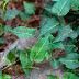 Tuber fleece flower plant can clear cholesterol/ Polygonum multiflorum