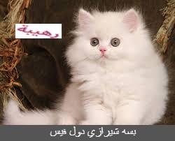 بسه شيرازي دول فيس