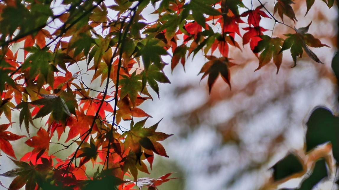 Acer palmatum, roter Fächerahorn