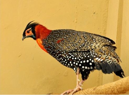 State Bird of Himachal Pradesh Jijurana