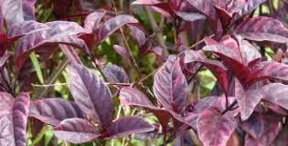 Foto tumbuhan Obat alami ambeien berdarah