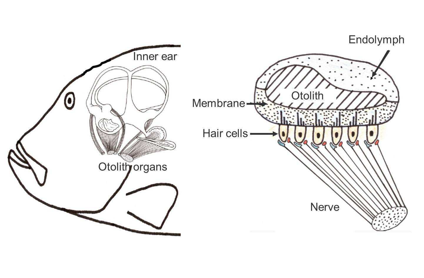 Science Of Hearing Iii Hearing In Vertebrates