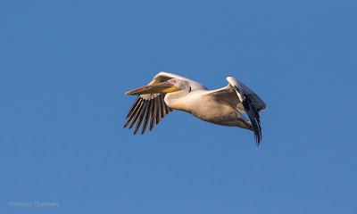 Pelican in Flight: Canon EOS 7D Mark II / 400mm Lens Woodbridge Island, Cape Town