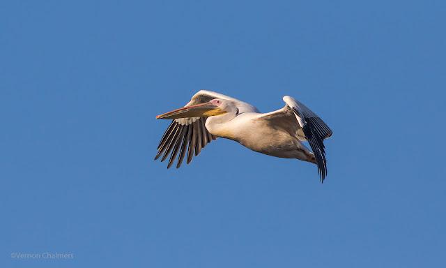 Pelican in Flight: Canon EOS 7D Mark II / 400mm Lens Woodbridge Island, Cape Town