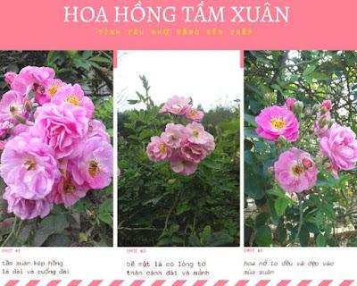 hoa hồng leo tầm xuân ra hoa một mùa có màu hồng vào mùa xuân