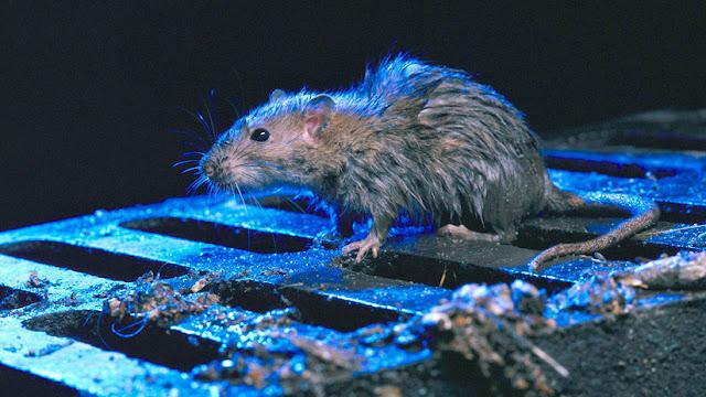 """Hordas de ratas del """"tamaño de un gato"""" invaden una ciudad neozelandeza"""