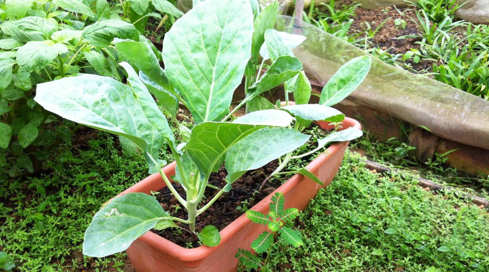sayur kailan mirip sawi chinese Kale