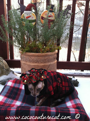 Coco the Cornish Rex in Winter Fashions