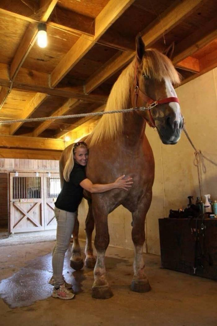 """This is the World's Tallest Horse, a Belgian named Big Jake. He stands over 20 hands (about 6'11"""" at his withers)"""