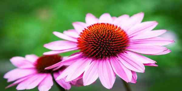 5 Khasiat Echinacea bagi Kesehatan