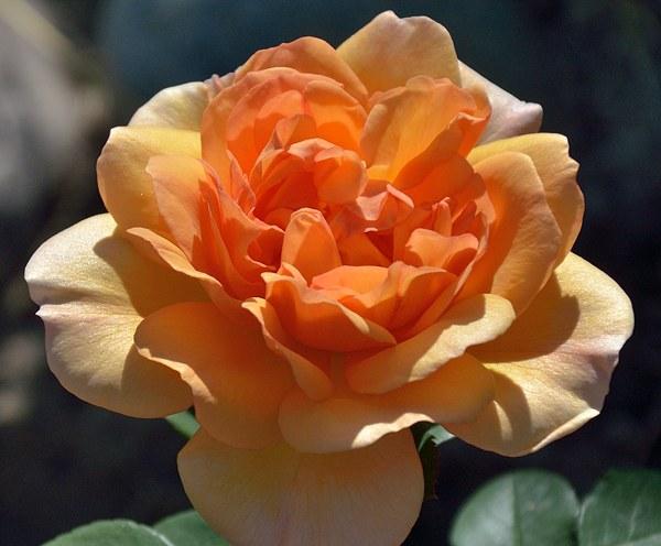 Dame Judi Dench сорт розы фото минск купить