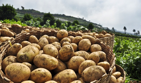 Peternakan Dan Pertanian Macam Macam Jenis Tanaman Umbi Umbian Dan Contohnya