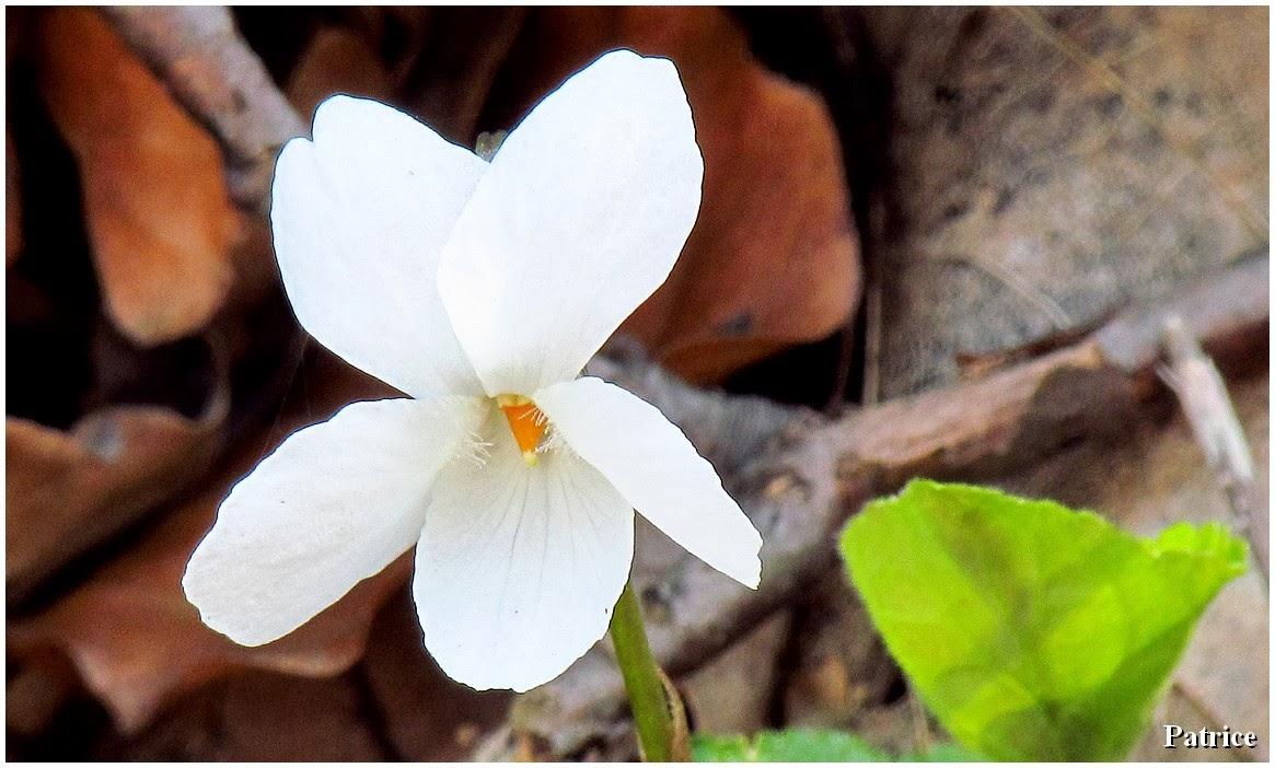 Fleur De Sous Bois Bleue blog photos de patrice: un billet bleu printemps !
