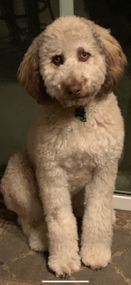 Moka, a white dog with brown ears, the LaBarre's ten-month-old labradoodle.