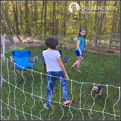 We got 200 feet of netting, which turns out to be much more than we need for the Polish girls, but we use the other section not charged to give our Yorkie, Milo, some off-leash space to run in the side yard.