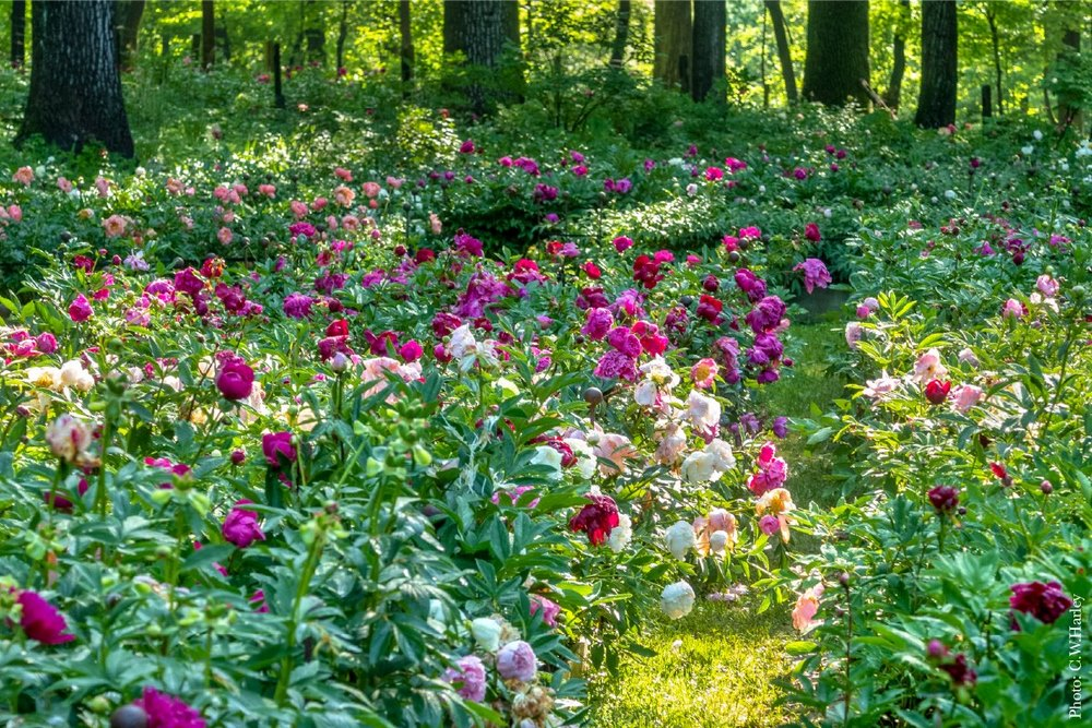 flores de peonía en el Jardín de peonías Peony's Envy en Nueva Jersey