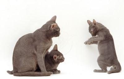 Cara Merawat Ras Kucing Korn Ja