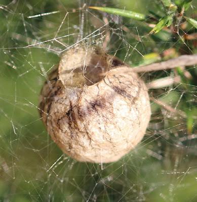 Nido de Argiope bruennichi