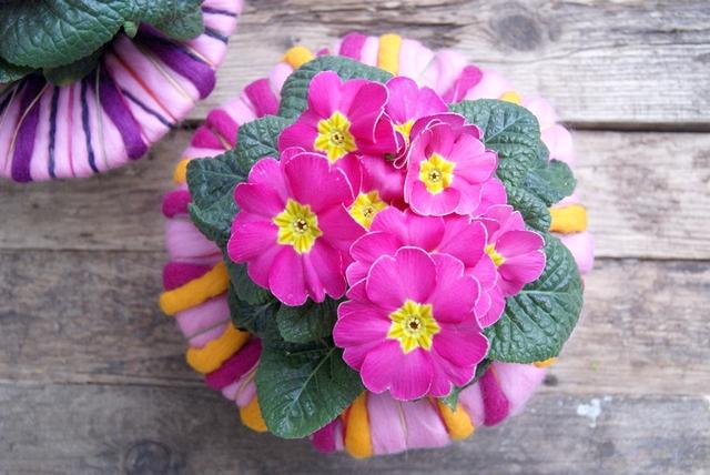 Pinke Primeln mit selbst gemahter Manschette aus Wolle