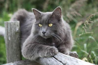 قطط النيبلينغ : Nebelung