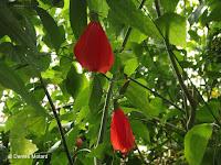 Malvaviscus, a jungle plant - Kyoto Botanical Gardens Conservatory, Japan