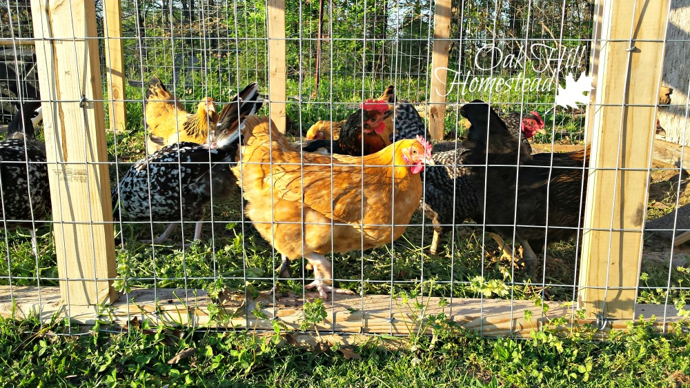 Keep your chickens safe from predators oak hill homestead for Chicken run for 6 chickens