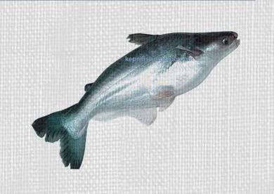 Jambal atau biasa di sebut ikan patin ialah jenis ikan dasaran Tips Dan Trik Mancing Ikan Patin