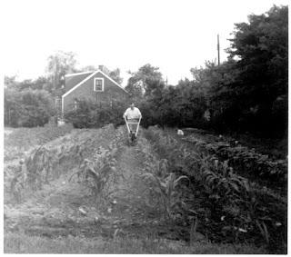 Dad Tilling his Garden 1955