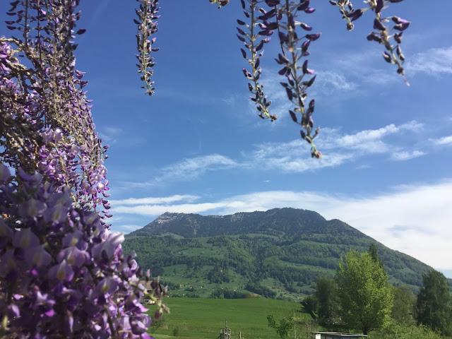 vorne lila Blauregen und Rigi