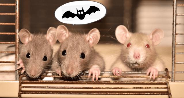 gambar tikus lucu, kampret kelelawar bahasa inggris
