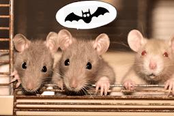 Cerita Obrolan Si Ibu Tikus Lucu Tentang Kelelawar