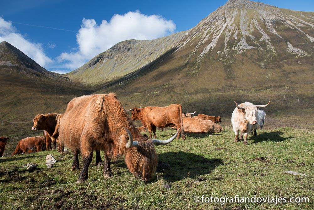 vacas de las Highlands , isla de Skye