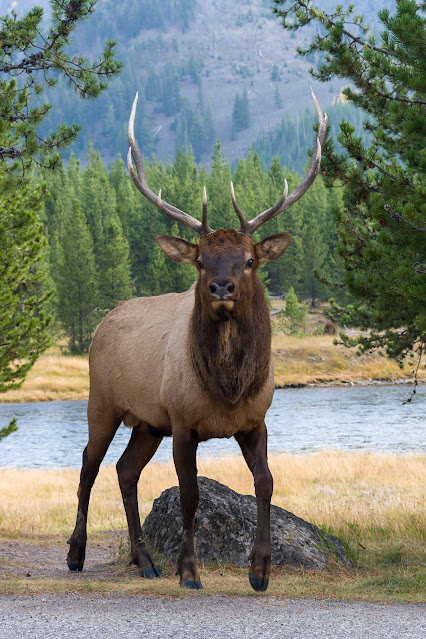 Elk bull with large horns at Yellowstone National Park