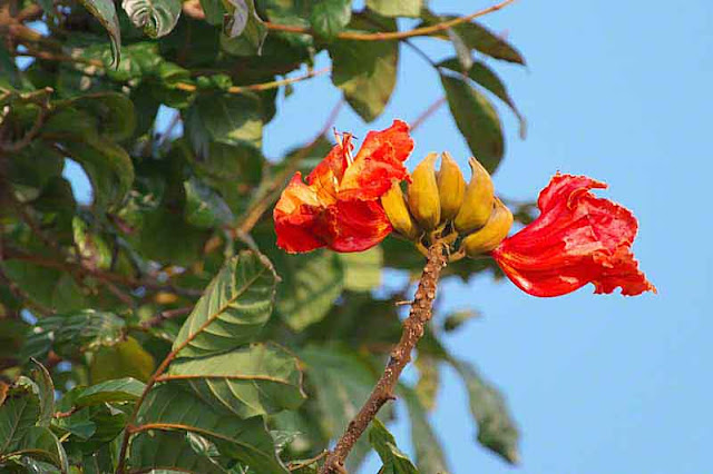 red flowers, banana-looking buds