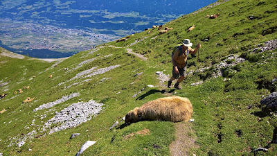 Later in the day, a sheep cools itself on the trail. Innsbruck valley in the upper left of photo