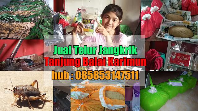 Jual Telur Jangkrik Tanjung Balai Karimun Hubungi 085853147511