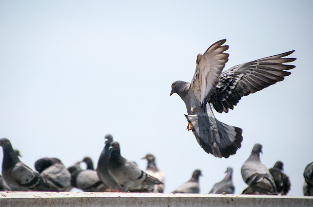 Peluang Usaha Burung Dara / Merpati & Analisa Usahanya