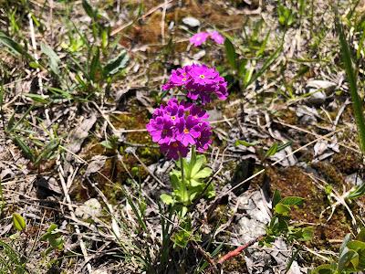 [Primulaceae] Primula spp. – Possibly P. hirsuta.