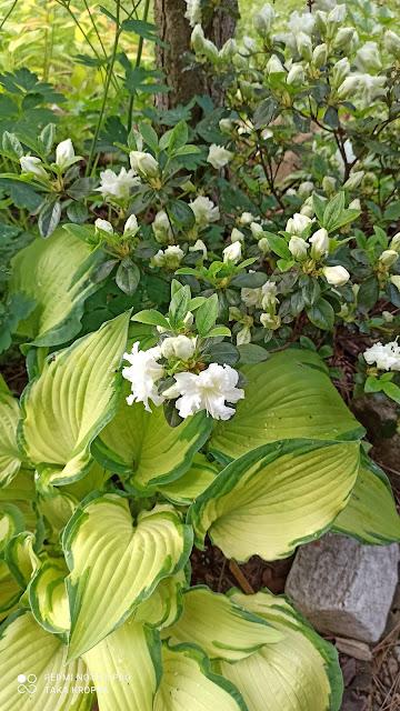 Rododendrony i azalie - inspiracje, zdjęcia