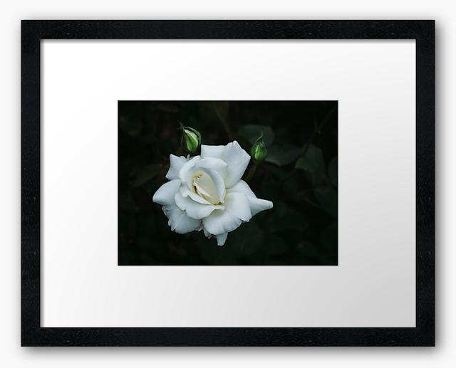 White rose in the blue morning