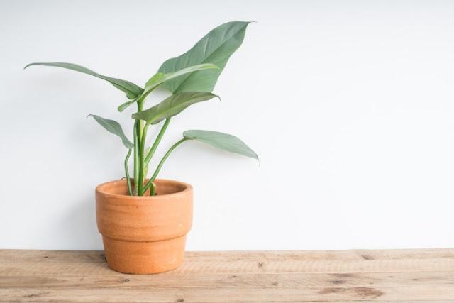 Tumbuhan Philodendron yang bisa membunuh