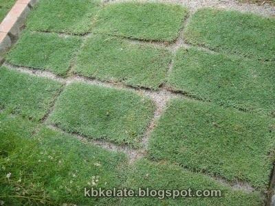 Rumput Karpet Murah Rumput Padang Bersih Kawasan Rumah