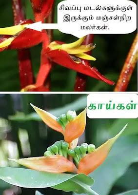 Heliconia_true_flower